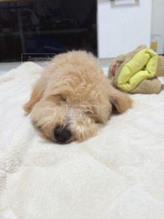 犬の写真・画像素材[509428]