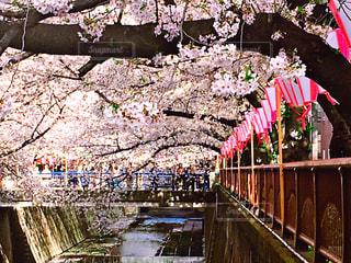 桜の写真・画像素材[573137]