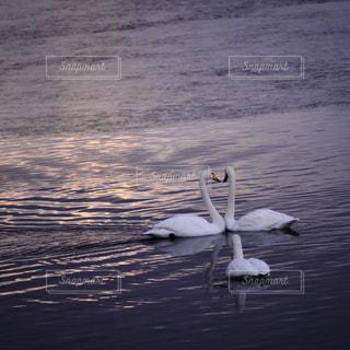 鳥,水,ハート,愛,白鳥,ラブラブ,ラブ,恋,三角関係