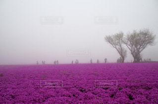 幻想的,神秘的,芝桜,富士,コンテスト,本栖湖,静岡県,霧の中,花絶景