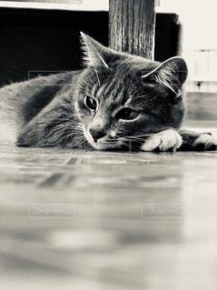 横になって羽虫を見ている猫の写真・画像素材[2306854]