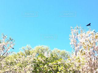 散り際の桜の写真・画像素材[1116868]