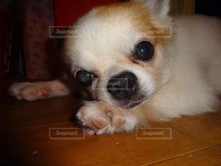 テーブルの上に座って、小さな茶色と白犬の写真・画像素材[1188609]
