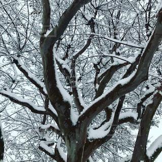 冬,雪,屋外,樹木,シロ