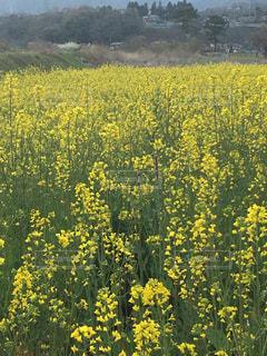 花,春,屋外,黄色,景色