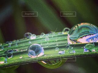 緑の葉と雨粒のアップの写真・画像素材[812921]