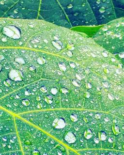 雨の中小さい雨粒や大きな雨粒が葉の上で光っていますの写真・画像素材[812923]