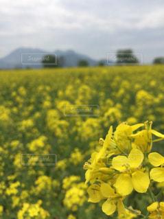 菜の花畑と山の写真・画像素材[1160719]