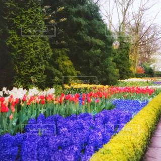 キューケンホフ公園の写真・画像素材[1019245]