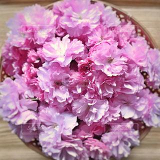八重桜の写真・画像素材[1041478]