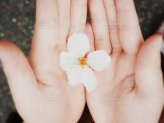 子どもの手に一輪の桜の写真・画像素材[1199396]