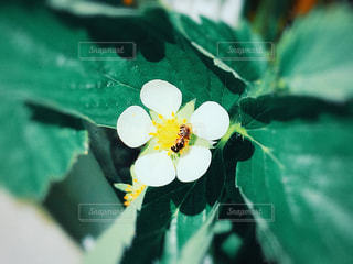 ミツバチと苺の花の写真・画像素材[1199703]