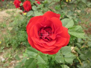 真っ赤な花の写真・画像素材[1223347]