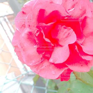 雨,赤,バラ,薔薇,rain,梅雨,赤い薔薇