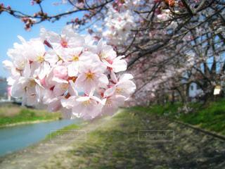ソメイヨシノの写真・画像素材[1260750]