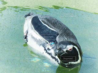 水のプールで泳ぐペンギンの写真・画像素材[1357987]