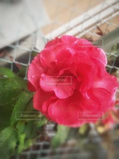 花,雨,屋外,緑,赤,水滴,バラ,薔薇,水玉,フェンス