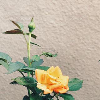 花,屋外,緑,バラ,オレンジ,薔薇,蕾,フィルム,カラー,自然光,フィルム写真,フィルムフォト