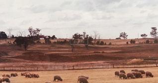 風景,空,動物,屋外,羊,牧場,レトロ,樹木,外国,旅行,オーストラリア,フィルム,海外旅行,Australia,自然光,日中,フィルム写真,sheep,羊の群れ,フィルムフォト,羊牧場