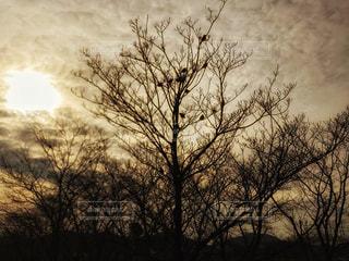 夕焼けに大きな木と雀のシルエット♪の写真・画像素材[2882106]