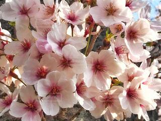 花,春,桜,木,花見,花びら,サクラ,美しい,お花見,イベント,たくさん,cherry blossom,Spring,さくら,ブロッサム