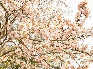 桜満開♪の写真・画像素材[3033530]