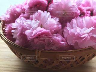 籠いっぱいにピンク色の八重桜の写真・画像素材[4231302]
