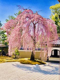 高台寺のしだれ桜の写真・画像素材[1126277]