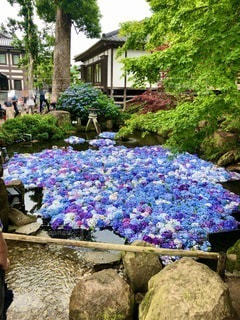 雨引神社 水中あじさいの写真・画像素材[3389418]