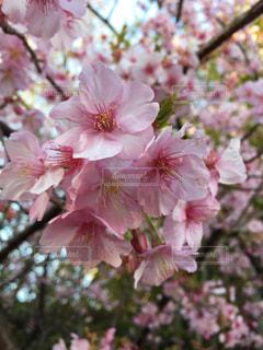 桜 - No.376903