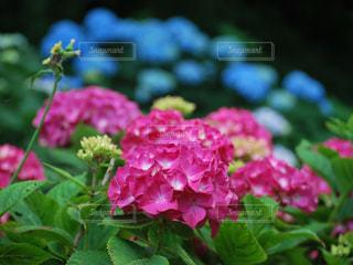 花,ピンク,緑,あじさい,青,紫陽花,癒し,可愛い,日本,六月
