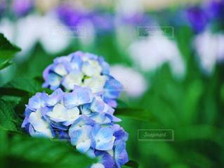 花,花畑,緑,あじさい,青,紫陽花,癒し,可愛い,日本,菖蒲