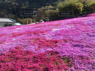フィールドにピンクと紫の花 - No.878941
