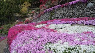 春,ピンク,カラフル,鮮やか,芝桜,徳島,高開の石積み,美郷