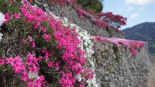 ピンク,鮮やか,芝桜,徳島,高開の石積み,美郷