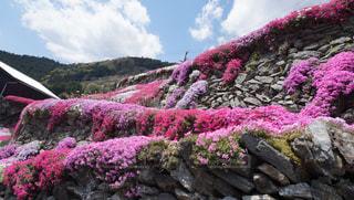 ピンク,カラフル,鮮やか,芝桜,徳島,高開の石積み,美郷