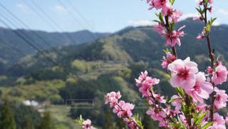 自然,春,桜,ピンク,青空,徳島,高開の石積み,美郷