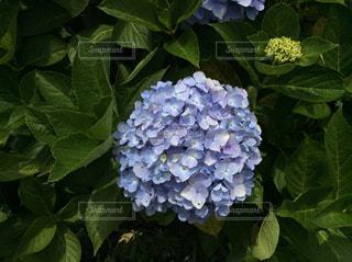 花,屋外,緑,葉,景色,紫陽花,梅雨,草木