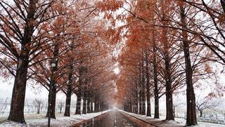 白雪に覆われたメタセコイア並木道の写真・画像素材[1703576]