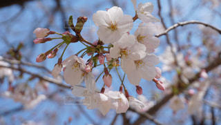 桜のクローズアップの写真・画像素材[3089189]