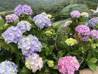 紫陽花のクローズアップの写真・画像素材[3463976]
