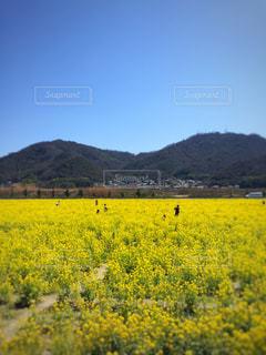 フィールドに黄色の花の束 - No.1135268