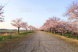 No.425476 桜