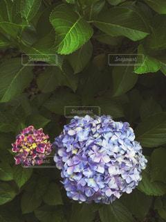 花,満開,紫陽花,日本,梅雨,6月,無人,紫色