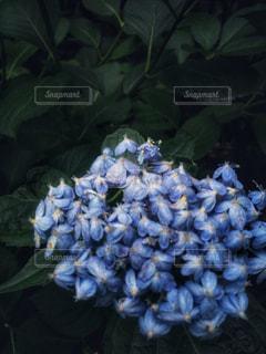 6月の紫陽花の写真・画像素材[1236797]