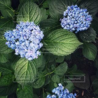花,満開,紫陽花,梅雨,6月,無人,コピースペース,紫色