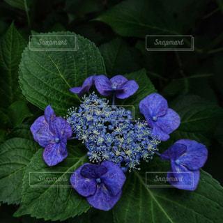 花,満開,紫陽花,日本,梅雨,6月,無人,コピースペース,紫色