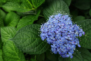 6月の紫陽花の写真・画像素材[1236902]