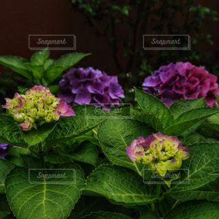 花,満開,紫陽花,日本,梅雨,6月,無人,コピースペース,草木