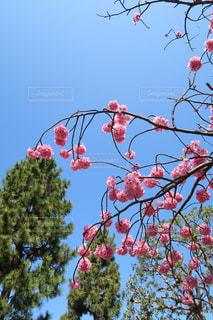 青空と桜の写真・画像素材[1237635]